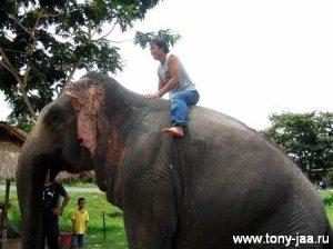 Тони Джаа на слоне