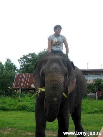 Тони Джаа (Tony Jaa) и слон