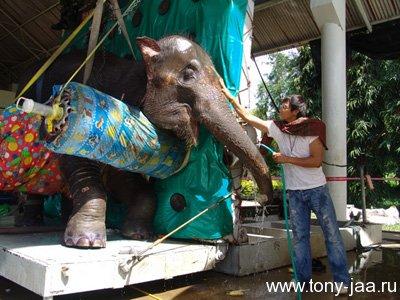 Тони Джаа моет раненую слониху