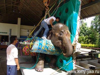 Тони Джаа в госпитале у слонихи